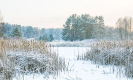 Reeds in winter frost and lake. Reeds in winter frost at sunrise lake Stock Photos