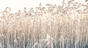 Reeds in winter frost Royalty Free Stock Photo
