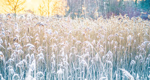 Reeds in winter frost Royalty Free Stock Photos