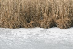 Reeds in winter Stock Photography