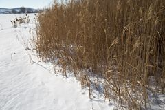 Reeds in winter nature. In the park in nature Stock Images