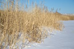 Reeds in winter nature. In the park in nature Royalty Free Stock Photo