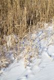 Reeds in winter nature. In the park in nature Stock Image