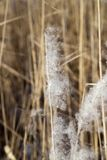 Reeds in winter nature Stock Image