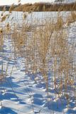 Reeds in winter nature. In the park in nature Stock Photo