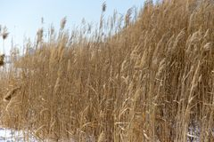 Reeds in winter nature. In the park in nature Royalty Free Stock Photos