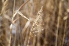 Reeds in winter nature. In the park in nature Stock Photography