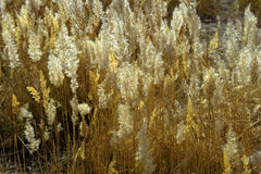 The reeds Royalty Free Stock Image