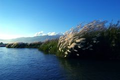 Reeds in Yingjiang River in the morning. The reeds in Yingjiang River in the morning Royalty Free Stock Photo