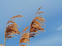 Reeds in golden afternoon light. Reed seed heads blowing in the breeze in golden afternoon light royalty free stock photography