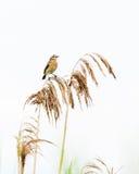 REEDvogel Stockfotos