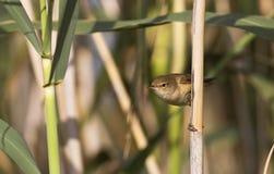 Reedwobbelton (Acrocephalus scirpaceus) Lizenzfreies Stockfoto