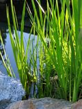 Reedy Pond. Sun lighting up reeds by a pond stock photography