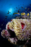 Reef and anemone with fish, Red Sea, Egypt Stock Photography