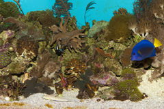 Reef Aquarium Fishes Royalty Free Stock Photo