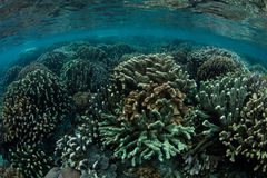Reef-Building Corals in Shallows Royalty Free Stock Photo