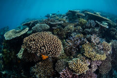 Reef-Building Corals in South Pacific Stock Photos