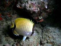 Reef Butterflyfish. This reef was taken at night in 45 feet of water in south Florida at a reef called Barracuda reef Royalty Free Stock Images