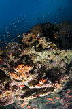 Reef and colored school of fish. Reef, gogonian and school of glass fish, Maldives Stock Images