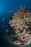 Reef and colored school of fish. Reef, gogonian and school of glass fish, Maldives Stock Photos