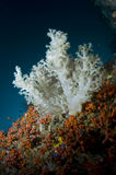 Reef, colored soft coral Royalty Free Stock Images