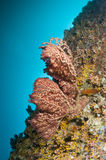 Reef, Colorful corals, Maldives. Gorgonian in the Reef, Indian Ocean, Maldives Royalty Free Stock Photos