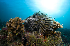 Reef, Colorful seastar, Maldives. Corals in the Reef, Indian Ocean, Maldives Stock Image