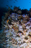 Reef, Colorful soft coral, Maldives. Corals in the Reef, Indian Ocean, Maldives Stock Images