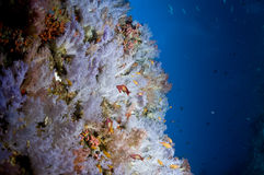 Reef, Colorful soft coral, Maldives Royalty Free Stock Photo