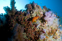 Reef, Colorful soft coral, Maldives. Corals in the Reef, Indian Ocean, Maldives Royalty Free Stock Photography