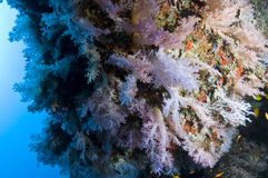Reef, Colorful soft coral, Maldives. Corals in the Reef, Indian Ocean, Maldives Royalty Free Stock Photo