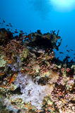 Reef, Colorful soft coral, Maldives. Corals in the Reef, Indian Ocean, Maldives Stock Photos