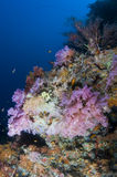 Reef, Colorful soft coral, Maldives Stock Images