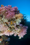 Reef, Colorful soft coral, Maldives Stock Photos