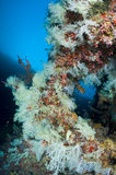 Reef, Colorful soft corals, Maldives. Soft corlas in the Reef, Indian Ocean, Maldives Stock Photography