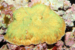 Reef coral Stock Images