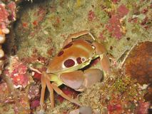 Reef Crab Stock Images