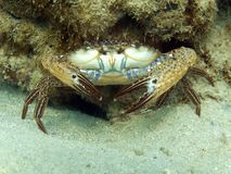 Reef Crab - Callinectes sp. Royalty Free Stock Images