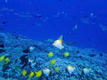 Reef crowded with tropical fish in Hawaii