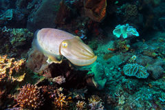 Reef cuttlefish Royalty Free Stock Image