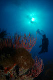 Reef and a diver Stock Images