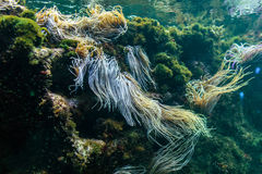 Reef ecosystem with anemone and plants. Reef ecosystem underwater with snakelocks anemone and plants Royalty Free Stock Photos