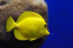 Reef fish. Underwater tropical reef  yellow fish Stock Photos