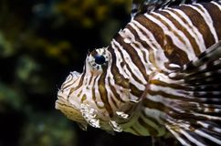 Reef fish. Half body lions fish on the sea Royalty Free Stock Images