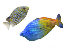 Reef fish. Two Tropical reef fish colection Royalty Free Stock Images