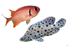 Reef fish. Two Tropical reef fish colection Stock Images