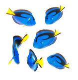 Reef fish, blue tang. Isolated on white background royalty free stock image