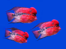 Reef fish, blue tangflower horn fish on blue scree Stock Images