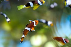 Reef fish , clown fish or anemone fish Royalty Free Stock Image