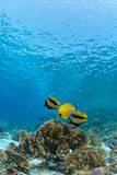 Reef fish on coral. Reef fish couple on coral Royalty Free Stock Photography